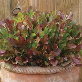 Lettuce Mixed Red Salad Leaves