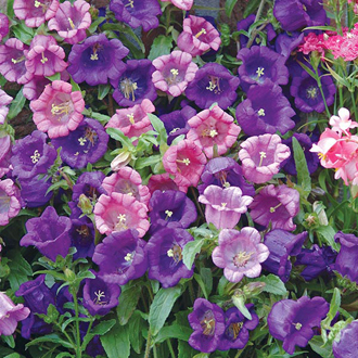 Canterbury Bells Chelsea Mixed Seeds
