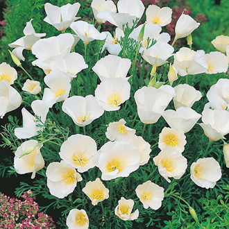 Californian Poppy Ivory Castle Seeds