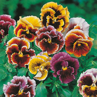 Pansy Frou Frou Mixed Seeds