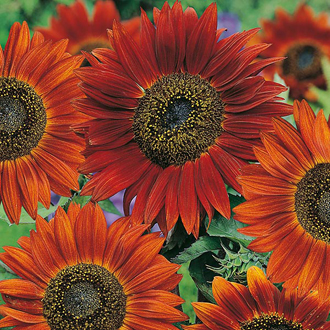 Sunflower Velvet Queen Seeds