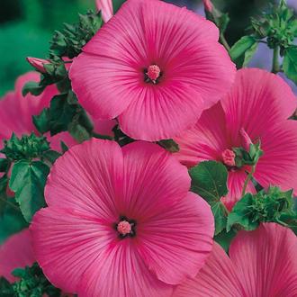 Lavatera Ruby Regis Seeds