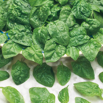 Spinach Samish F1 Seeds