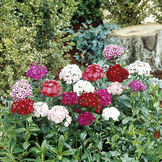 Sweet William Noverna Mixed F1