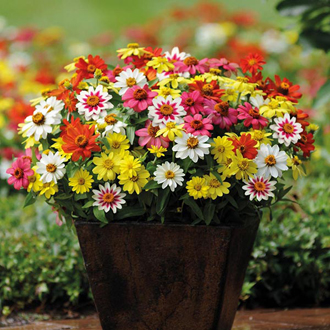 Zinnia Zahara Mixed Seeds