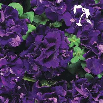Petunia Cascade Blue F1