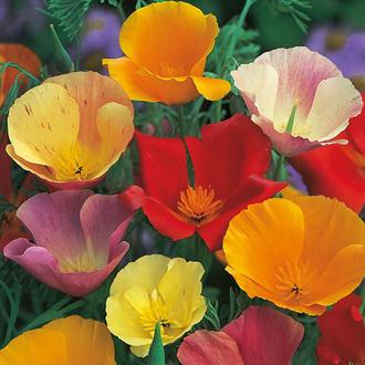 RSPB Californian Poppy Single Mixed Seeds