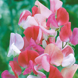 Sweet Pea Perfume Duet Seeds