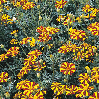 Marigold (French) Tall Scotch Prize Seeds