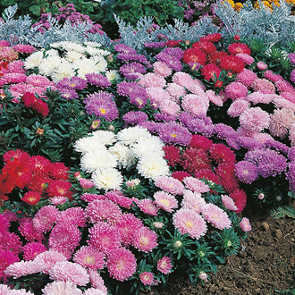 Aster Milady Mixed