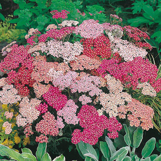 RSPB Achillea Summer Berries F2 Seeds