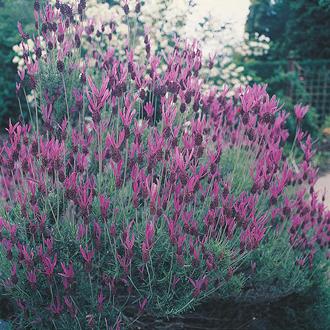 Lavender French Lavender