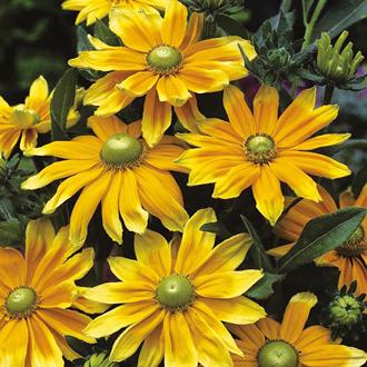 Rudbeckia Prairie Sun Seeds