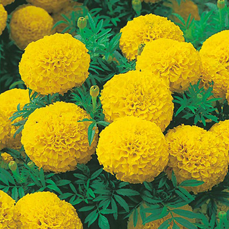 Marigold (African) Sunspot Series Yellow Seeds