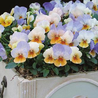 Viola Sorbet Peach Frost F1 Seeds