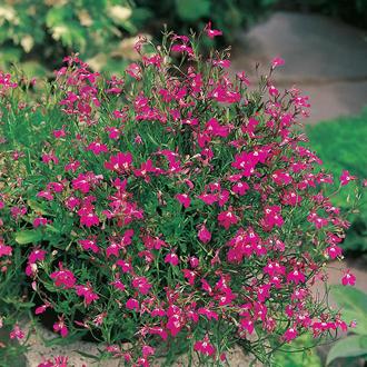 Lobelia Crimson Fountain Seeds