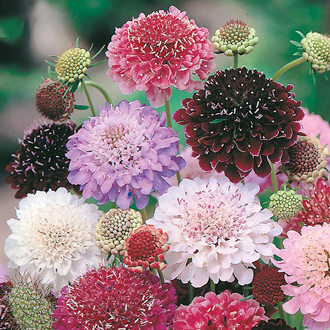 Scabious Tall Double Mixed Seeds