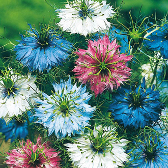 Nigella Persian Jewels Seeds