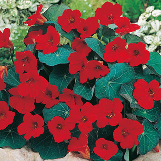 Nasturtium Empress of India Seeds