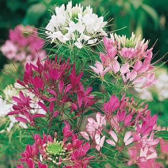Cleome Colour Fountain Seeds
