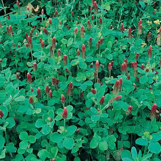 Green Manure Crimson Clover