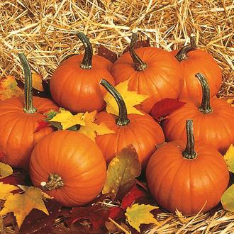 Pumpkin Baby Bear Seeds