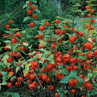 Chinese Lanterns Seeds