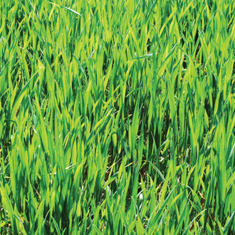 Green Manure Winter Rye
