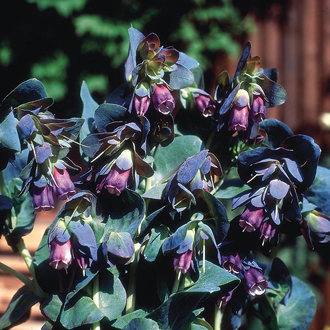 Cerinthe major purpurascens Seeds