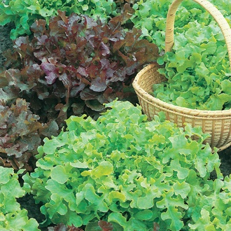 Lettuce Salad Bowl Red and Green