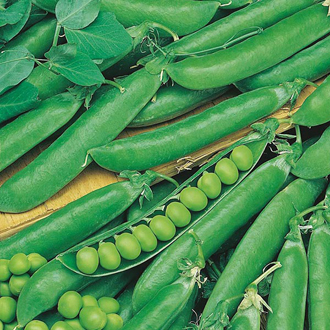 Pea Rondo Seeds