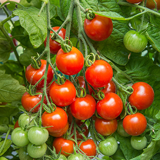 Outdoor Tomato Plant Collection