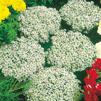 Alyssum Snow Crystals Seeds