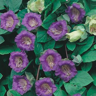 Cobaea scandens Seeds