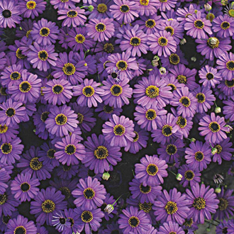 Swan River Daisy Purple Splendour