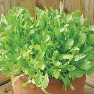 Lettuce Mixed Green Salad Leaves