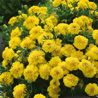 Marigold (French) Yellow Jacket Seeds