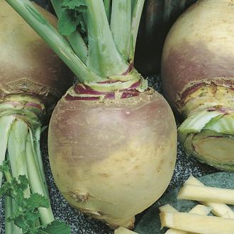 Swede Helenor Seeds
