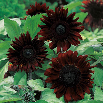 Sunflower Black Magic F1 Seeds