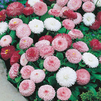 Bellis Goliath Mixed