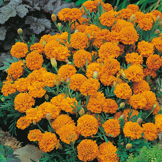 Marigold (French) Orange Boy Seeds