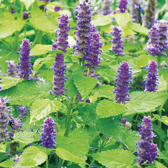 Agastache Golden Jubilee Seeds