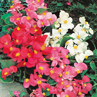 Begonia Summer Rainbow F2