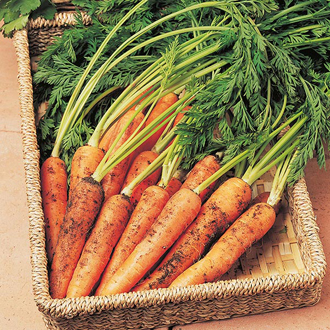 Carrot Resistafly F1 Seeds