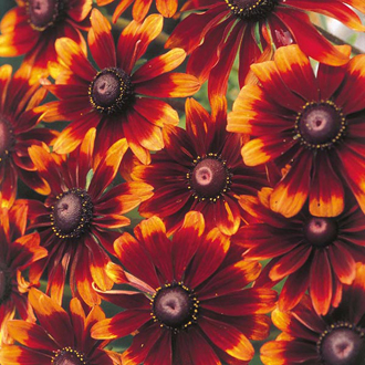 Rudbeckia Chocolate Orange