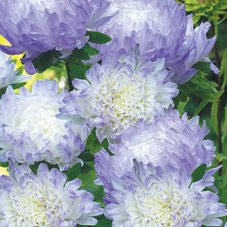 Aster Duchess Blue Ice