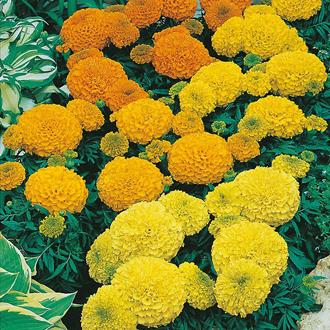 Marigold (African) Sahara Mixed Seeds