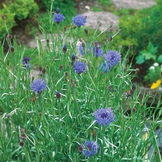 Cornflower Wild Cornflower