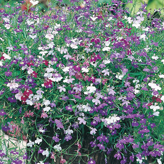 Lobelia Cascade Mixed Seeds
