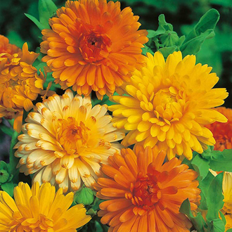 Calendula Art Shades Seeds